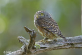 Owlet, Collared @ Bach Ma