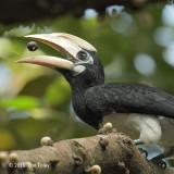 Hornbill, Oriental Pied (juv) @ SBG