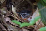 Babbler, Black-capped (adult sitting on nest)