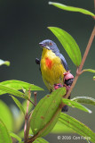 Flowerpecker, Crimson-breasted (male)
