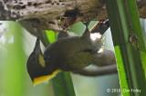 Yellownape, Greater (male) @ Jalan Richmond