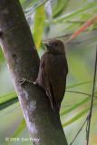 Woodpecker, Bamboo (female) @ The Gap
