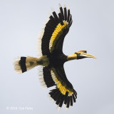 Hornbill, Great (male) @ The Gap