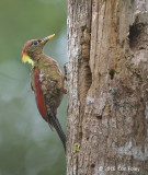 Woodpecker, Crimson-winged (female) @ Telecom Loop