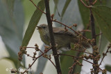 Babbler, Pin-striped Tit @ Hwy 55