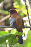 Trogon, Red-headed (male) @ Telecom Loop
