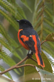 Minivet, Grey-chinned (male) @ Telecom Loop