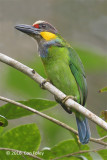 Barbet, Gold-whiskered