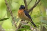 Flycatcher, Mangrove Blue @ KSNP