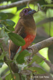 Trogon, Diard's (female)