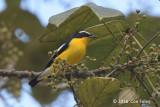 Flycatcher, Yellow-rumped (male)