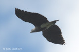 Eagle, Lesser Fish