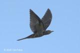 Cuckoo, Indian @ Changi