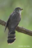 Cuckoo, Malaysian Hawk (juv) @ Bidadari