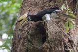 Hornbill, Oriental Pied (male) @ SBG