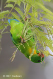 Parrot, Yellow-throated Hanging @ Bali Barat