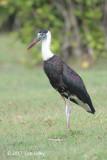 Stork, Woolly-necked @ Bali Barat