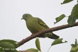 Pigeon, Grey-cheeked Green (female) @ Bali Barat