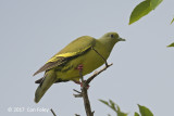 Pigeon, Orange-breasted Green (female) @ Bali Barat