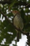 Tailorbird, Olive-backed @ Bali Barat