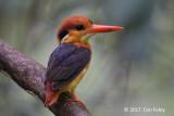 Kingfisher, Black-backed @ SBG