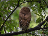 Owl, Buffy Fish (juvenile) @ Botanic Gardens