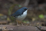 Robin, Siberian Blue (male) @ Venus