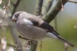 Bullfinch, Brown