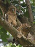 Owl, Buffy Fish (juvenile & adult) @ Botanic Gardens