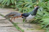 Pheasant, Lady Amherst (male) @ SBG