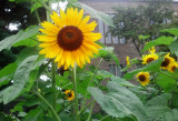 Sunflower in New Rochelle