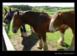 Clydesdale Horses, Beamish Living Museum