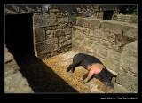 Sleepy Pig, Beamish Living Museum