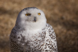 Blanca the Snowy Owl