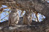 Mr. and Mrs. Great Horned Owl