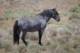 Blue... the Handsome Blue Roan Stallion