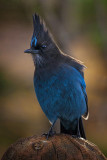 Up Close with Mr. Steller's Jay