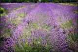 Carousel lavender farm PA