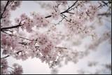 Veterans Memorial Park Cherry blossom