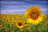 Clear meadow farm sunflowers