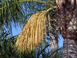 Flowers of the Palm Tree