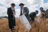 wheat_harvest