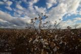 cotton_fields