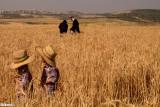 wheat_harvest_2016