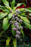 Dracaena:  Evening Blooms