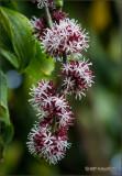 Dracaena: Blossom Stalk