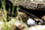 Broget fluesnapper, Ficedula hypoleuca
