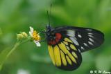 Pieridae (粉蝶)