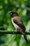 White-rumped Munia (白腰文鳥)