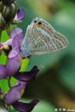 Lampides boeticus DSC_1451
